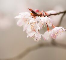 Prunus hirtipes by Anne Gilbert