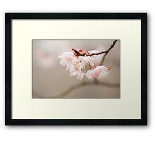 Prunus hirtipes Framed Print
