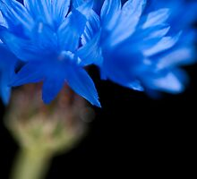 Sunkissed Cornflower by Anne Gilbert