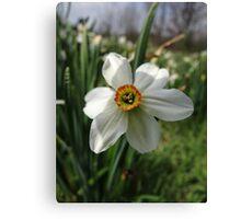 Jonquils among us (Narcissus) Canvas Print