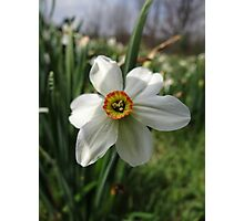 Jonquils among us (Narcissus) Photographic Print