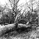 Fallen Tree, Phoenix Park, Dublin by Dave  Kennedy