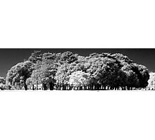 Phoenix Park Trees In Infra-Red Photographic Print