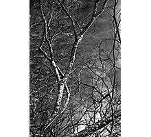 Silver Birch Tree, County Mayo Photographic Print