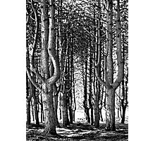 Tall Trees At The Furry Glen, Phoenix Park Photographic Print