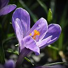 Purple Crocus by Colin Metcalf