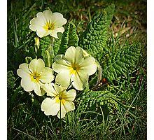 Spring Primrose Photographic Print
