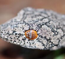 Southern Spiny-tailed Gecko - Portrait by EnviroKey