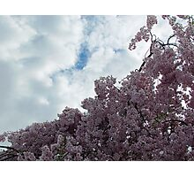 Cherry Blossom Sky Photographic Print