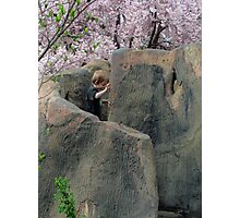 Climbing Into Cherry Blossoms Photographic Print