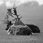 Deer Relaxing In The Phoenix Park by Dave  Kennedy