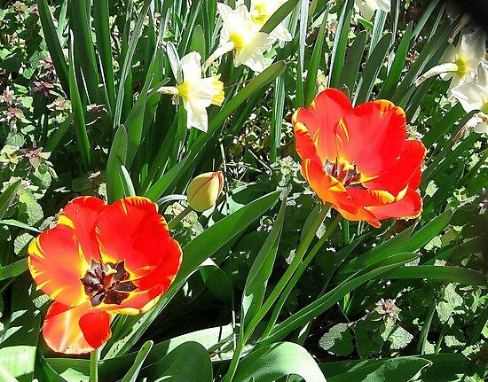 Red Tulips by Alberto  DeJesus