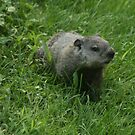 groundhog by ffuller