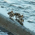Mallard Duck chicks by ffuller
