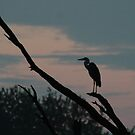 Great Blue Heron by ffuller
