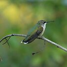 Hummingbird by ffuller