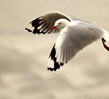 Gull in flight by D-GaP