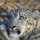 Snow Leopard. by Dorothy Thomson