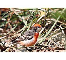 Crimson Chat - Male Photographic Print