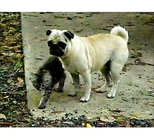 Showing The Way /Kitten and Pug  Photographic Print