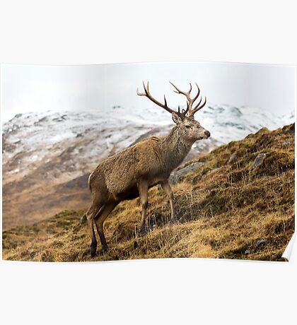 Royal Red Deer Stag in Winter Poster