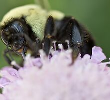 Bumble Bee At Work by Brenda  Meeks