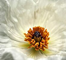 Silken Poppy by Barbara  Brown