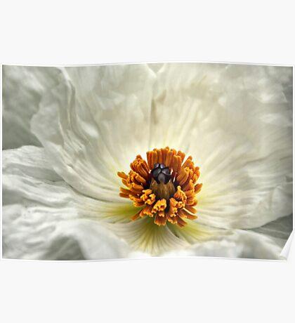 Silken Poppy Poster