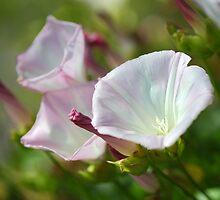Wild Morning Glory (Calystegia macrostegia)  by bubblenjb