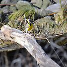 Meadowlark by afroditi katsikis