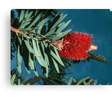 Red bottle brush (Callistemon) nr Albany Western Australia  19820831 0075 Canvas Print