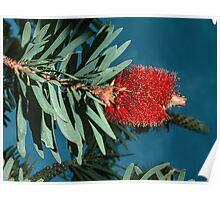 Red bottle brush (Callistemon) nr Albany Western Australia  19820831 0075 Poster