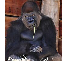 """""""Gorilla - So You Want Another Picture?"""" Photographic Print"""