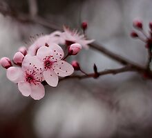 Cherry Blossom by Michelle  Wrighton