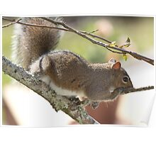 Squirrel Resting Poster