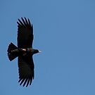 Cornish Chough by SWEEPER