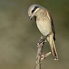 Shrike at Sunset by Macky