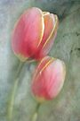 Sweet Tulips by Shelly Harris