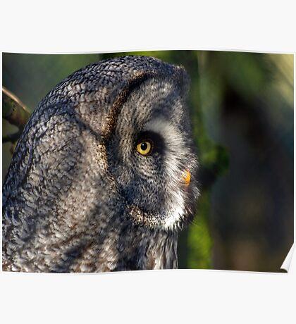 Great grey Owl ( Strix nebulosa) Poster
