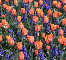 Tulips by mdruda