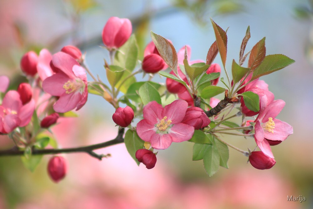Malus Hopa Flowering Crabapple by Marija