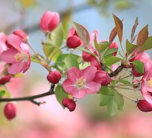 Malus Hopa Flowering Crabapple by Marija