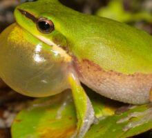 Calling Dwarf Tree Frog - Litoria fallax Sticker
