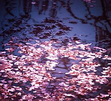 Spring's Embers - Cherry Blossom Petals on the Surface of a Pond by Vivienne Gucwa