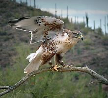 The Hawk  by Lucinda Walter