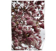 Magnolia in Full Bloom Poster