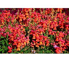 Candied Snapdragons  Photographic Print