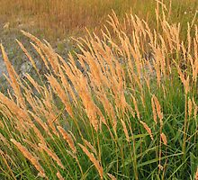Dry Grasses by Rod J Wood
