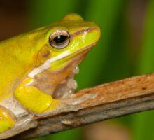 Dwarf Tree Frog - Litoria fallax Sticker