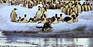 Emperor Penguins Hitting The Water by Carole-Anne